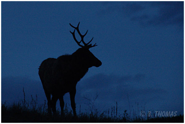 Last Chance Elk