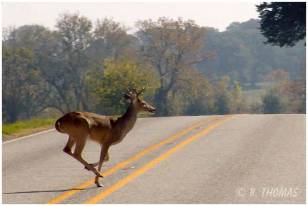 Why Does the Deer Cross the Road?