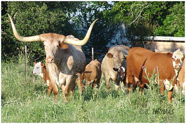 Texas Longhorn Dreamin'