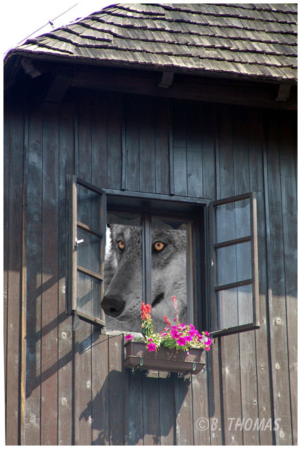 Wolf in the Window