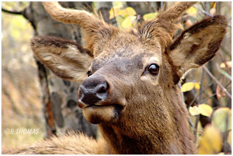 Elk In My Window