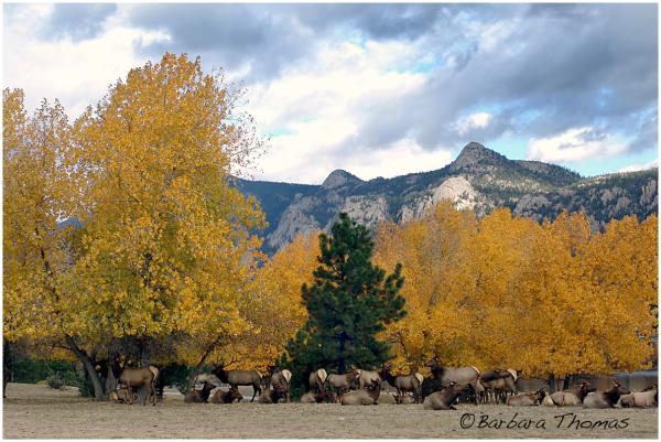 Aspen & Elk