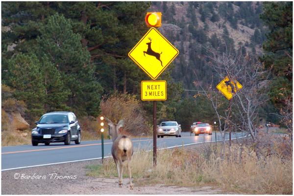 Cross Deer at Deer Crossing