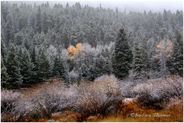 Last Aspen Leaves/First Snow