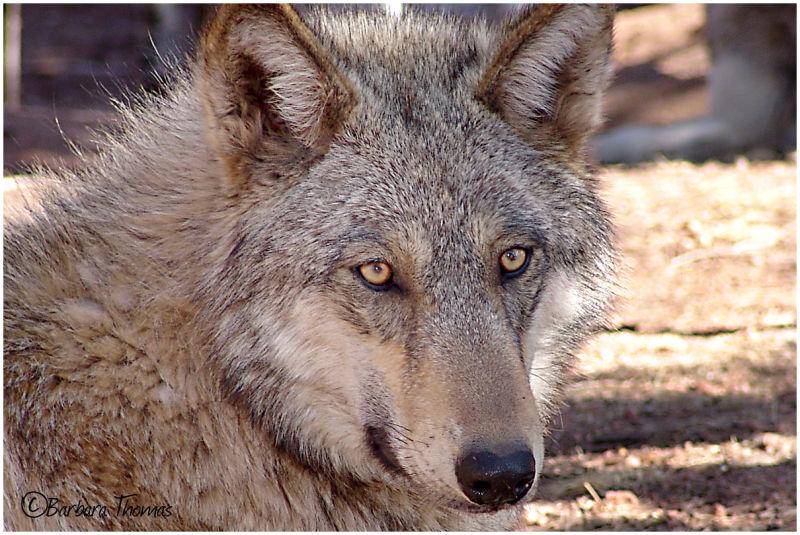 Wolf - 300!