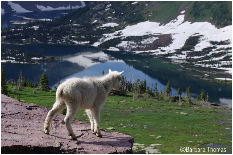 Mountain Goat With A View