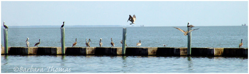 Pelicans and Oil Platforms