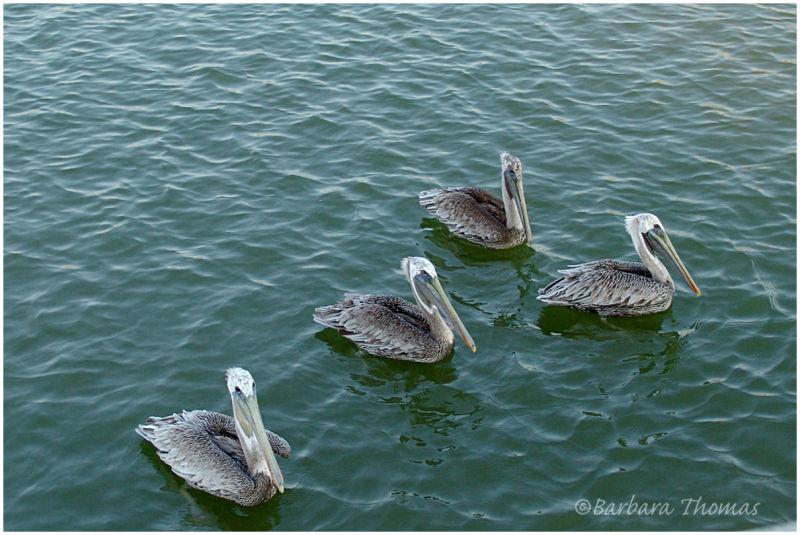 Pelicans in Danger