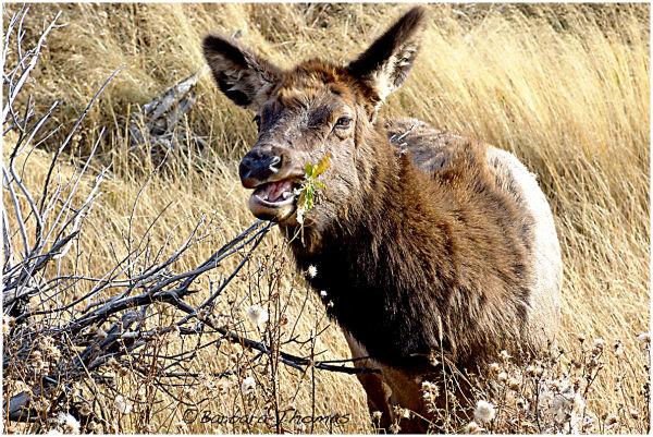 Munching Elk