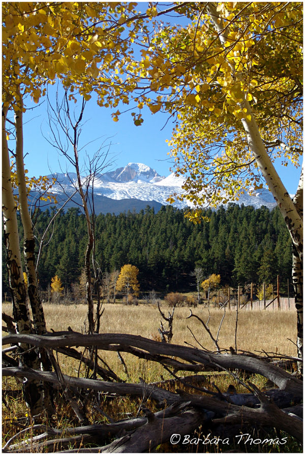 Aspen Leaves Framing Longs Peak