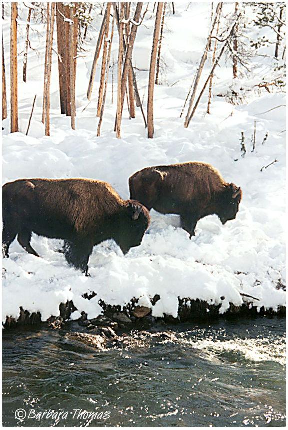 Winter Bison #5