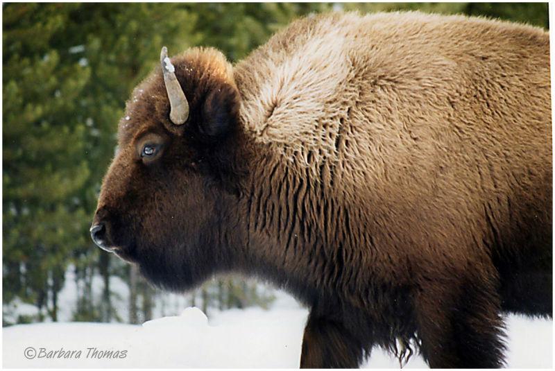Big Bison #6