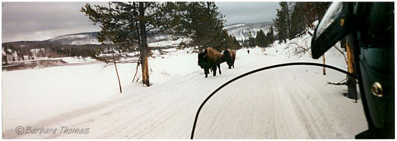 Bison Traffic Jam #10