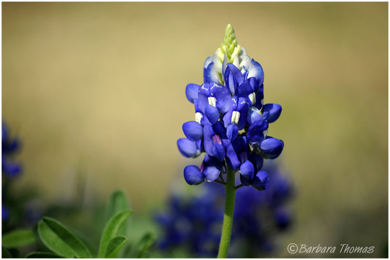 First Texas Bluebonnet