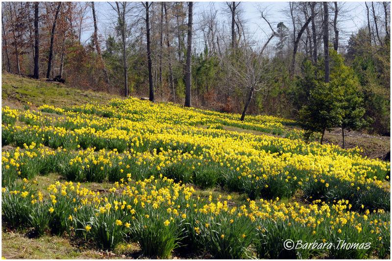 Daffodil Garden Paradise