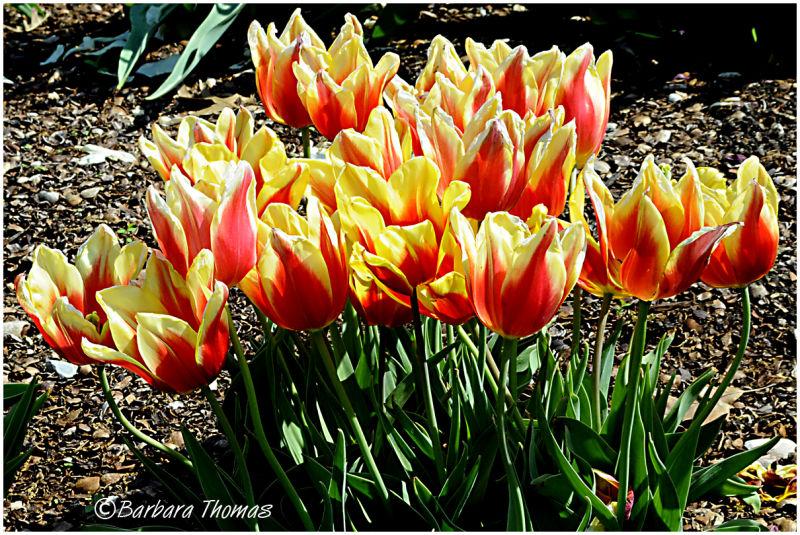 Burning  Tulips