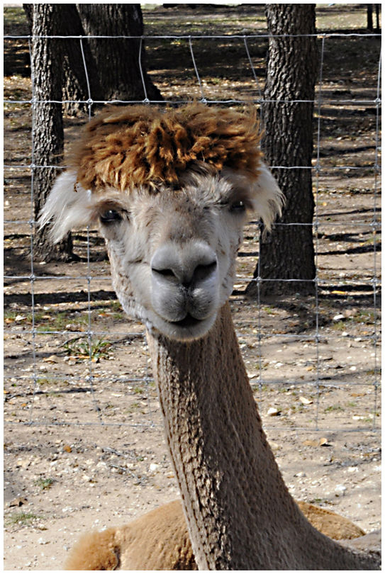 Alpaca One / Bad Hair Day