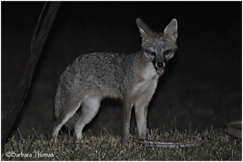 Summer Fox