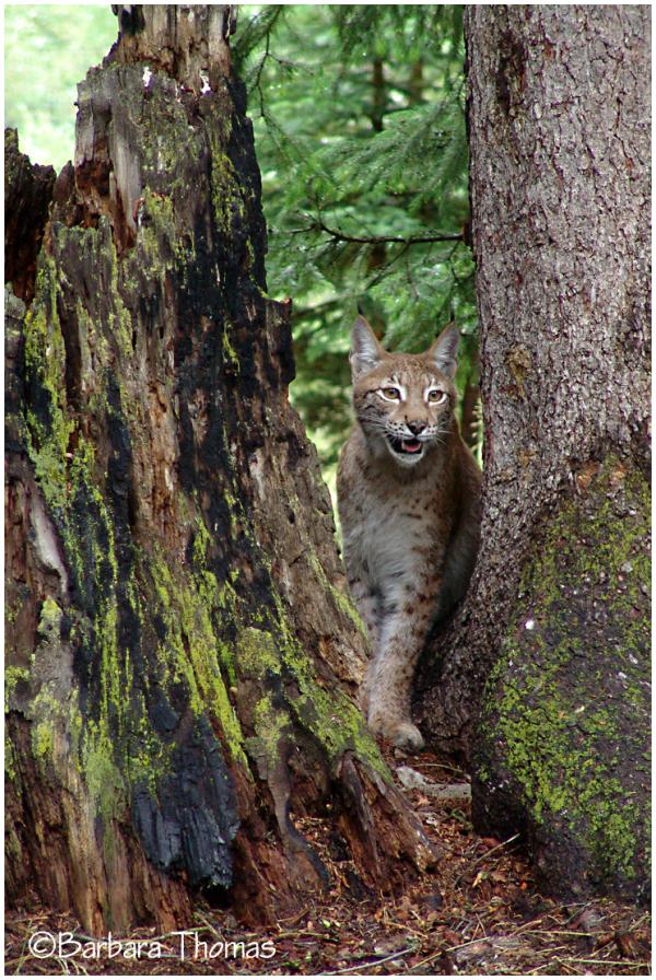Siberian Lynx 1