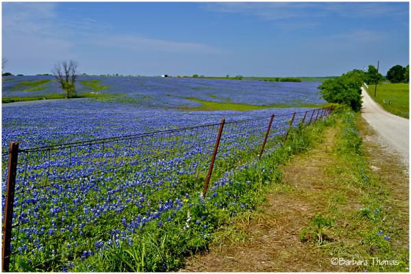 Texas Bluebonnet Fields