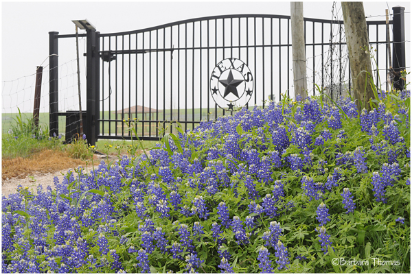 Bluebonnets at the Gate