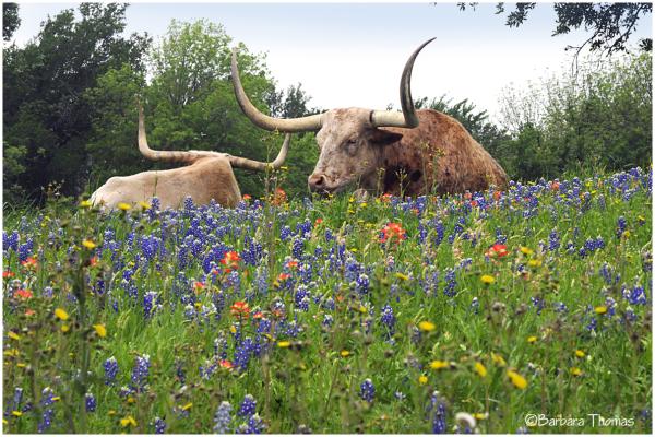 Resting Longhorns