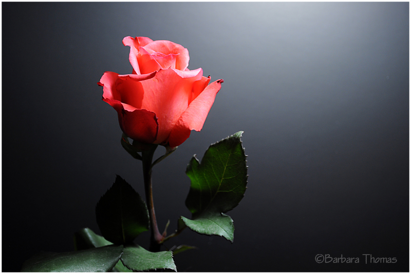 Just One Rose