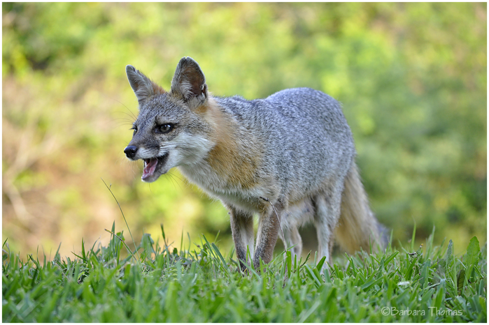 Foxy Momma