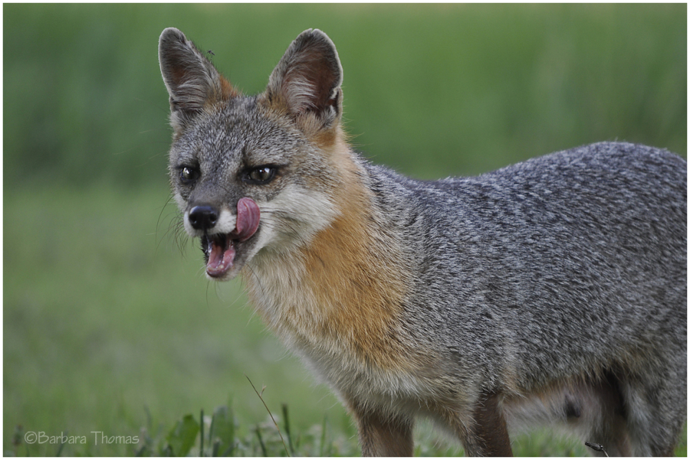 Foxy Momma 2