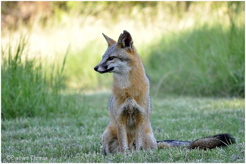 Gray Fox