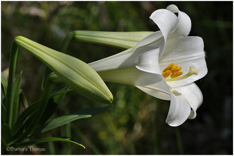 After Easter Lily
