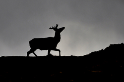 Elk in History
