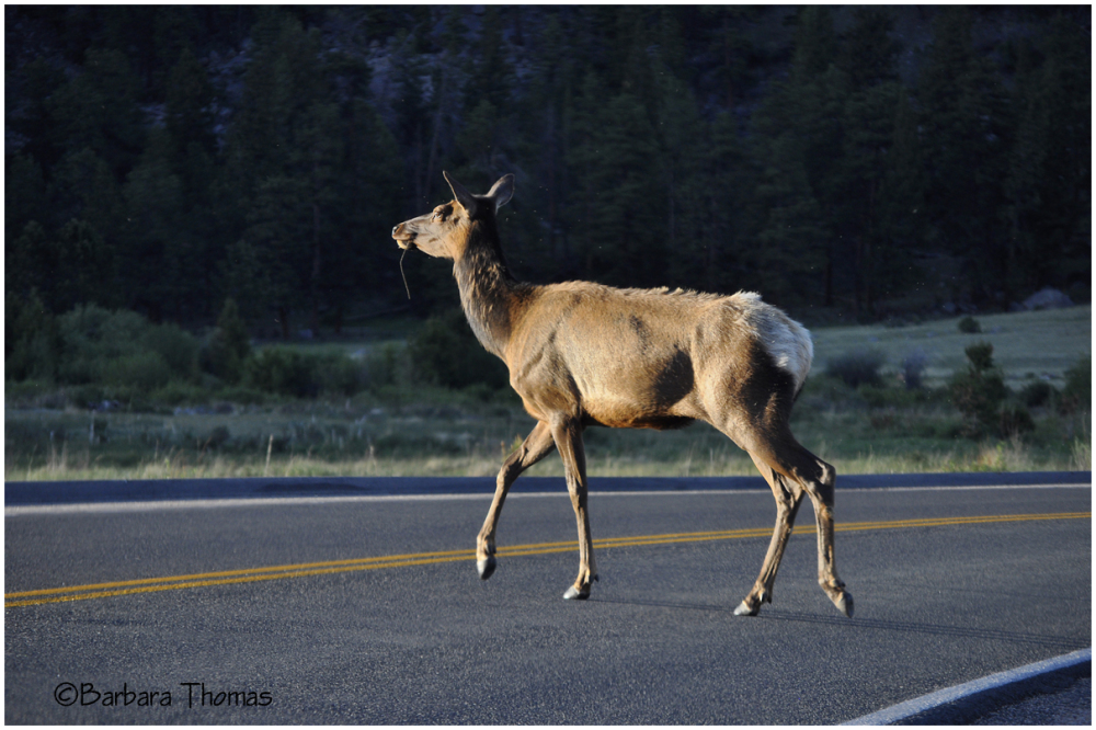 Why Did the Elk Cross the Road?