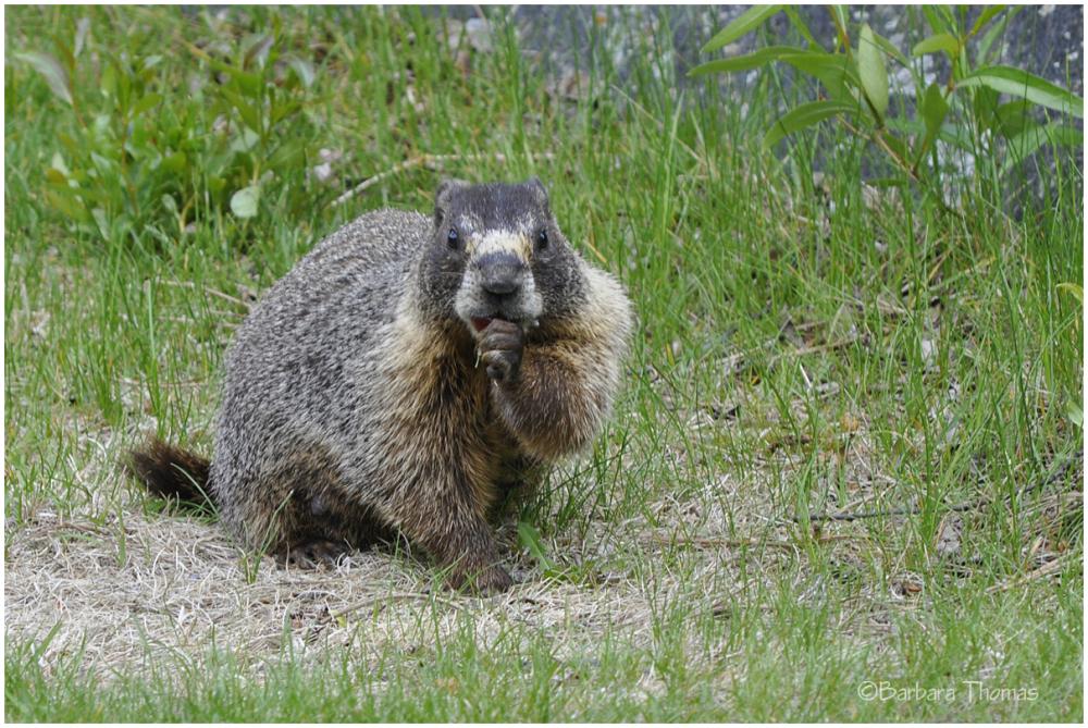 Martha, the Marmot