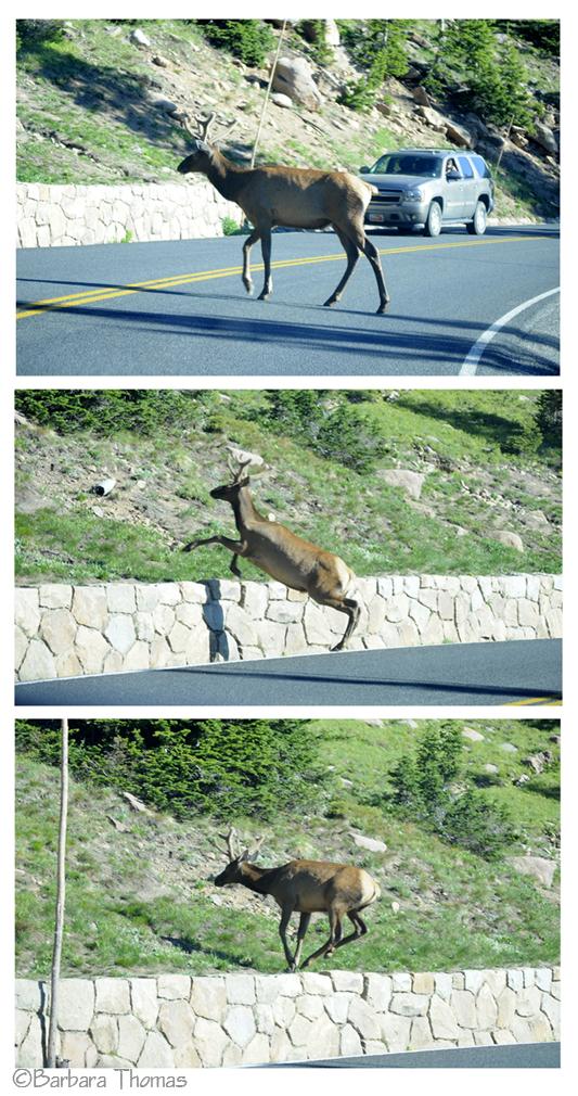 Jumping Elk