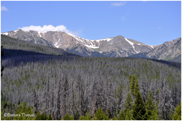 Epidemic of Pine Beetle