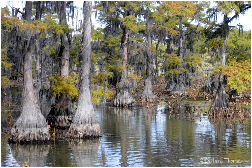 Cypress Trees of Caddo Lake