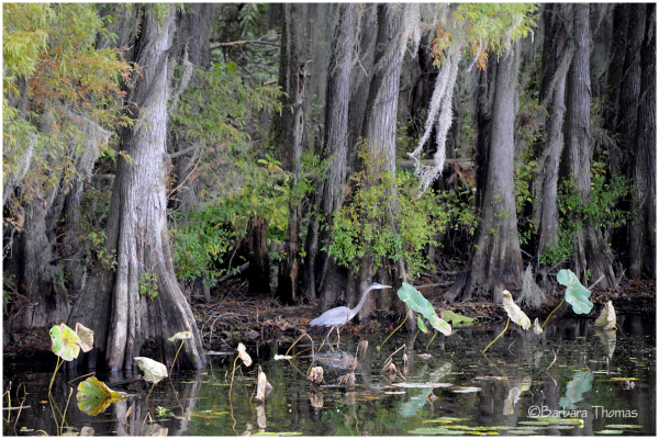 Caddo Lake Hunter