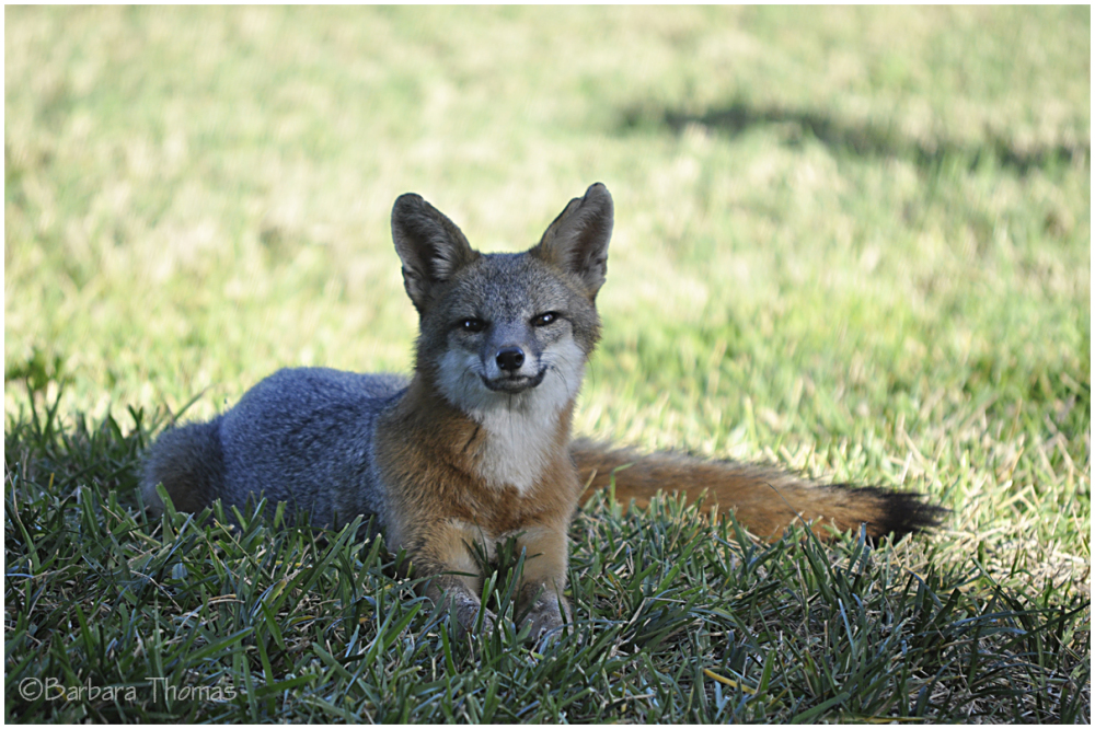 Grinning Fox