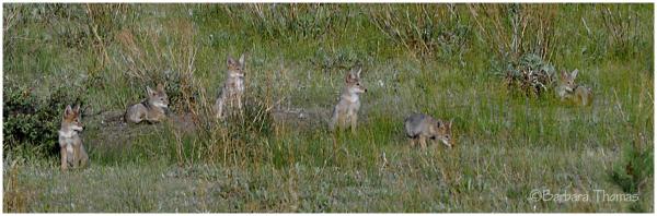 Six Pack - Coyote Pups