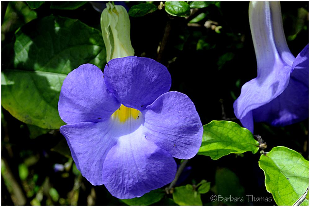 Blue Skyflower