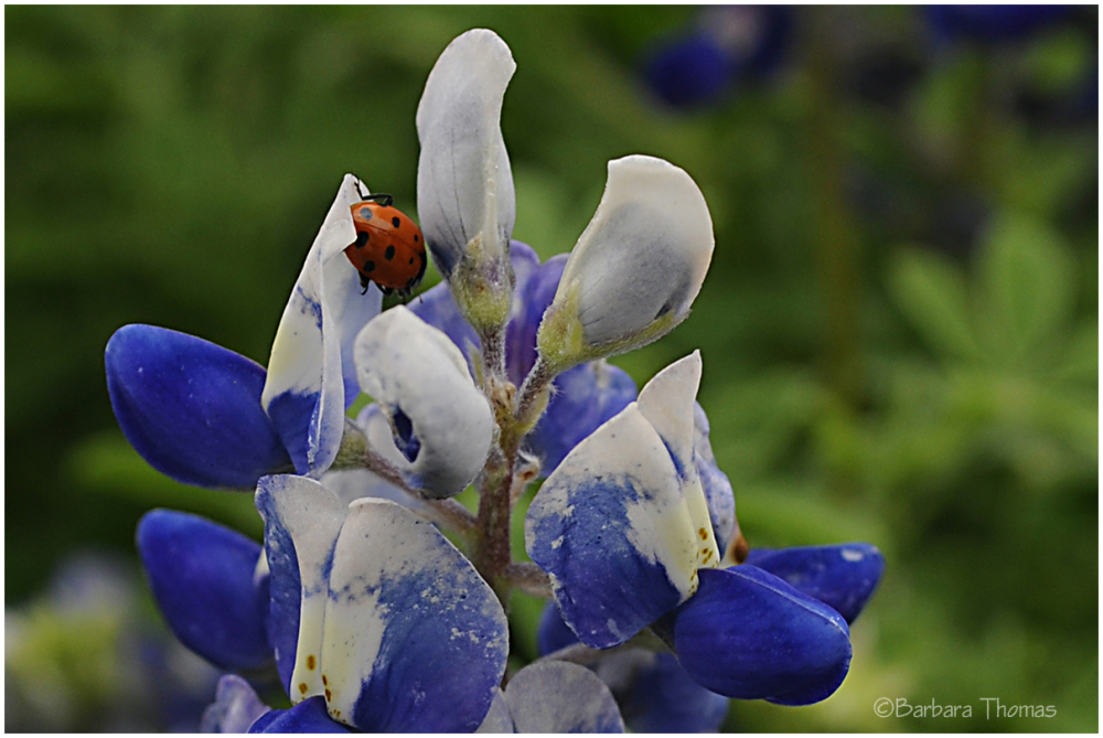 Bluebonnet Lady