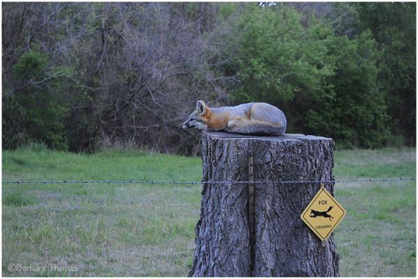 Fox Crossing