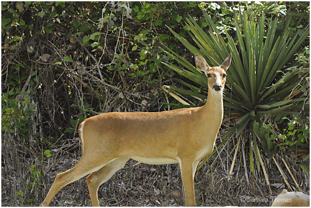 Goose Island Deer