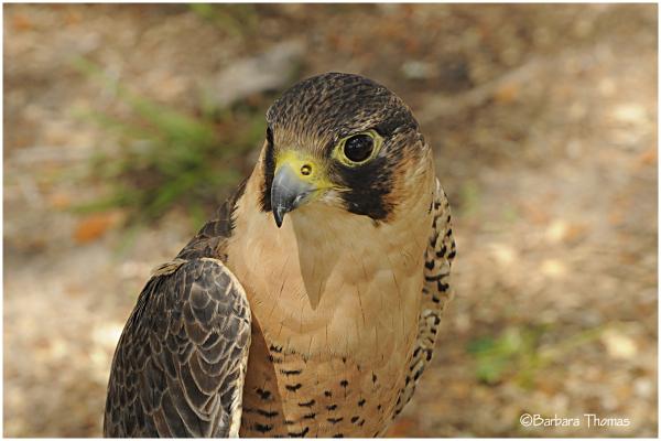 Barbary Falcon