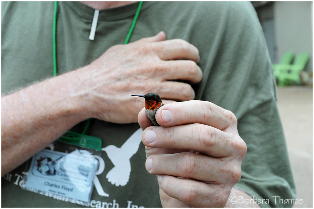Humming Bird Banding - 1