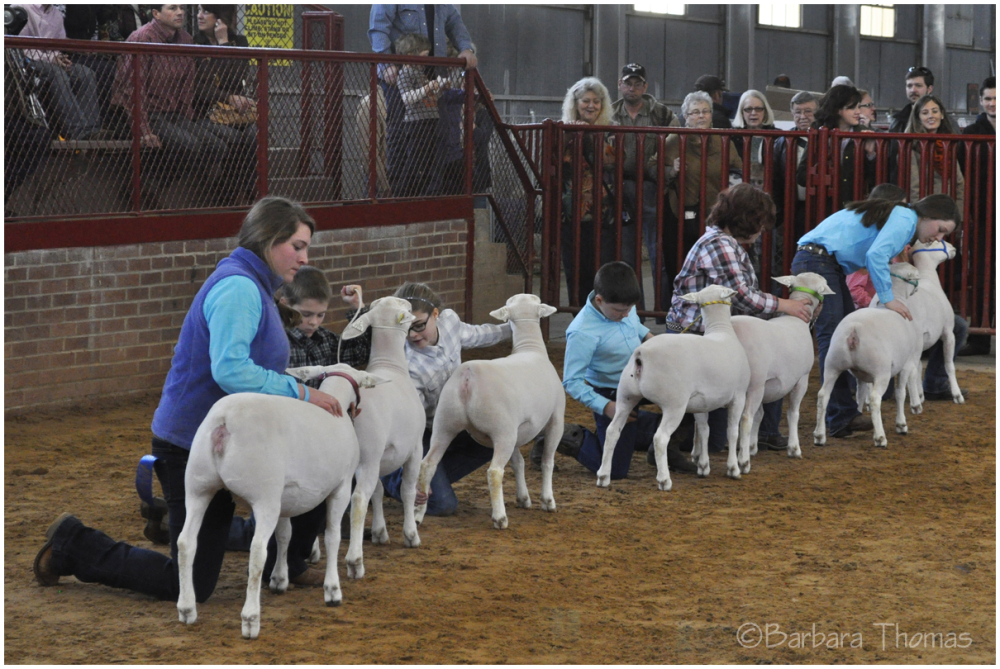 Junior Sheep Show