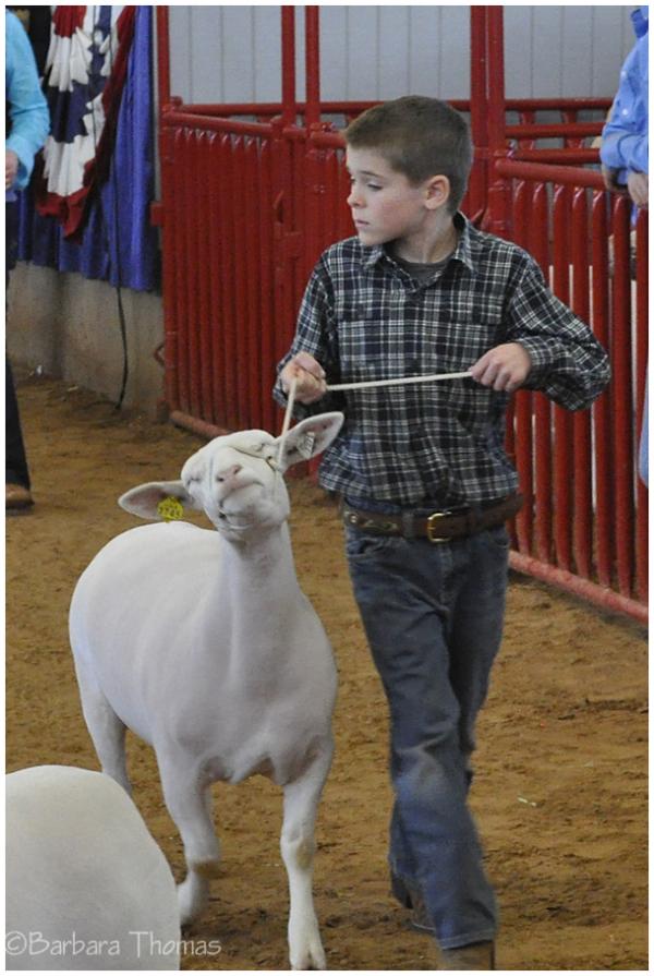 Junior Dorper Sheep Show