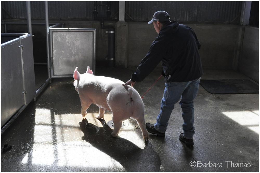 Wash a Pig