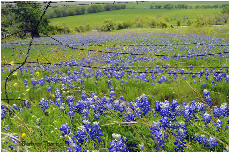 Barb Wire and Bluebonnets